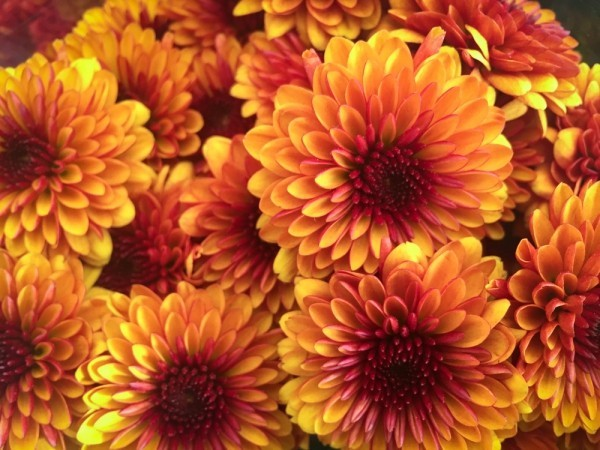 Herbstblumen Chrysanthemen