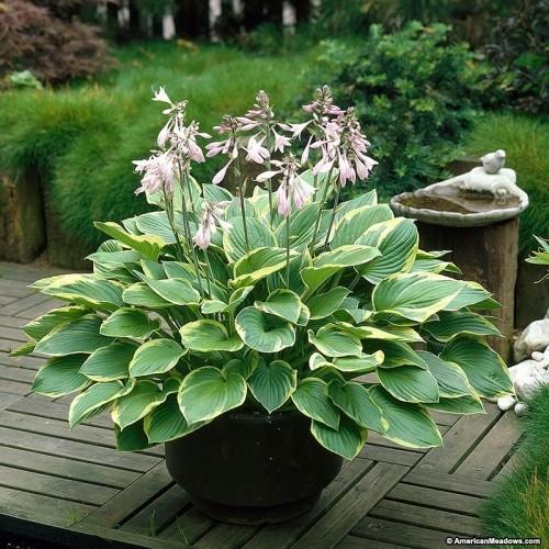 Hosta ein Superstar im schattigen Garten widerstandsfähige und pflegeleichte Gartenpflanzen
