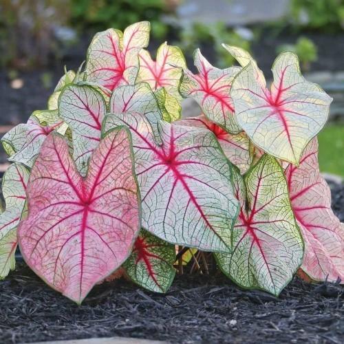 Schöne Gartenpflanzen Caladium bunt gefärbte Blätter Blickfang im Garten ein Phänomen in der Natur