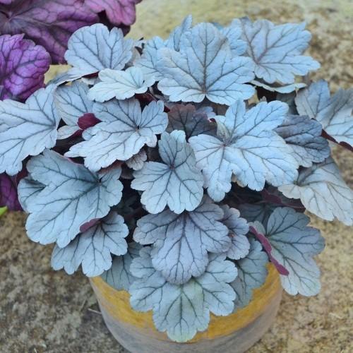 Schöne Gartenpflanzen Heuchera blau-silber gefärbte Blätter ziehen Blicke an