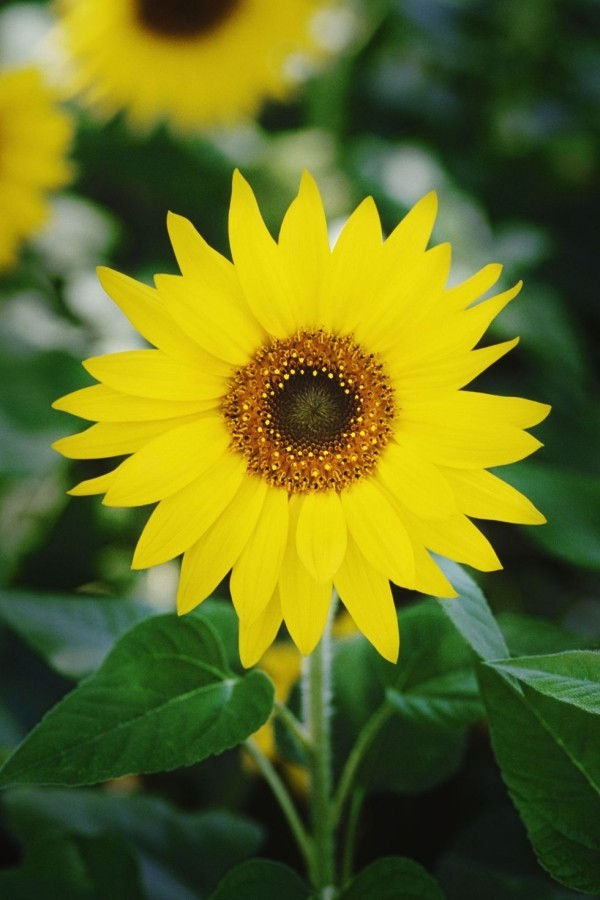 Schöne Herbstblumen Sonnenauge leuchtendes Gelb