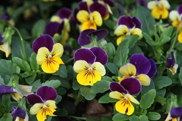 Schöne Herbstblumen im Garten bunte Stiefmütterchen