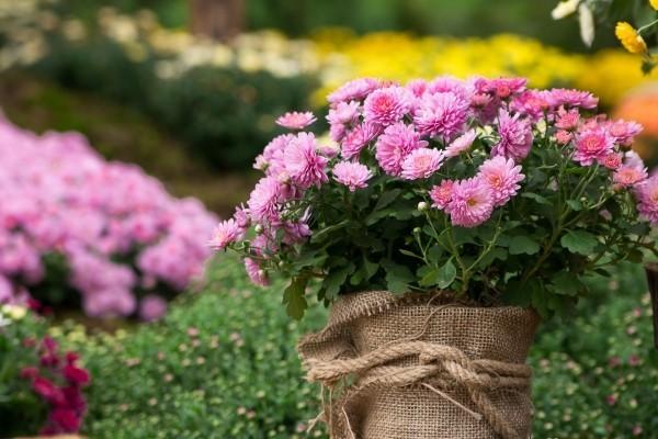 Schöne Herbstblumen rosafarbene Chrysanthemen perfekte Geschenkidee