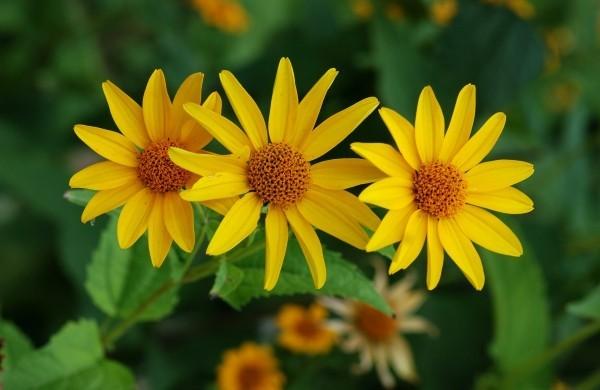 Sonnenauge gelb strahlt Optimismus aus schöne Herbstblumen