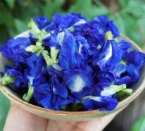 Ein cooles, blaues Getränk gefällig? Hier kommt der Butterfly Pea Tea!