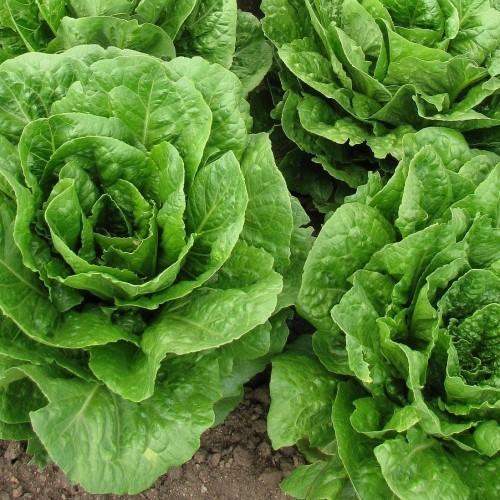 salat anbauen gesundes essen