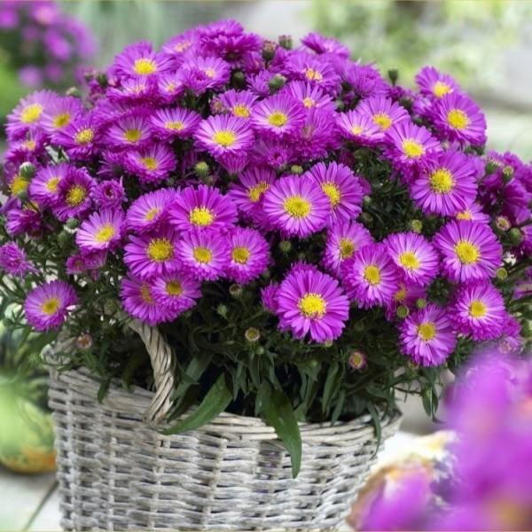 schöne Herbstblumen Astern zarte Farben und Blüten