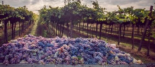 Ausgewählte Reiseziele im September Napa Valley Weinlese Weintrauben Weinberge