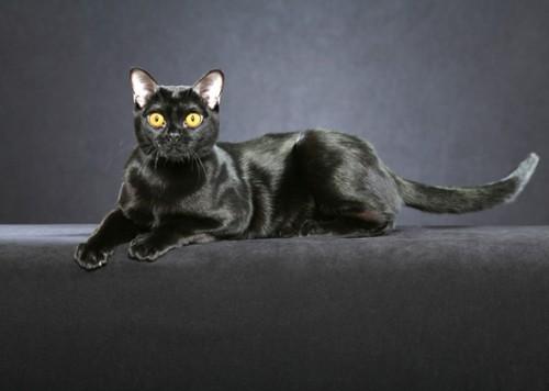 Schwarze Katze bombay standard