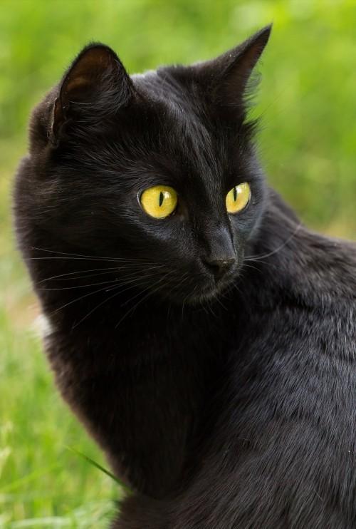 Schwarze Katze bombay