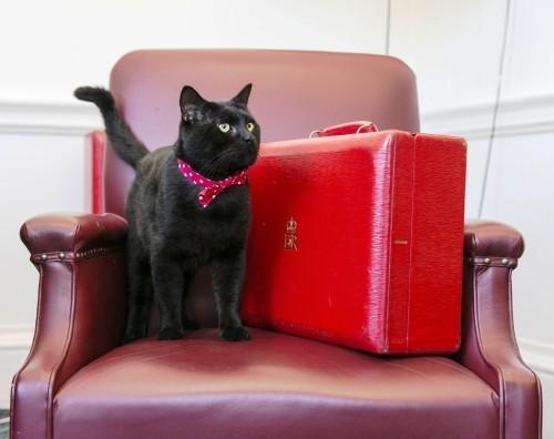 Schwarze Katze gladstone