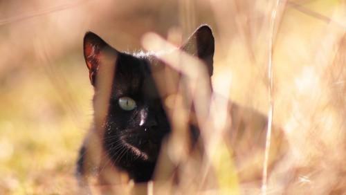 Schwarze Katze jäger