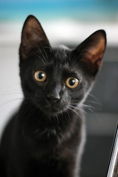 Schwarze Katze jung