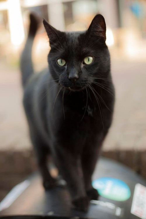 Schwarze Katze kater