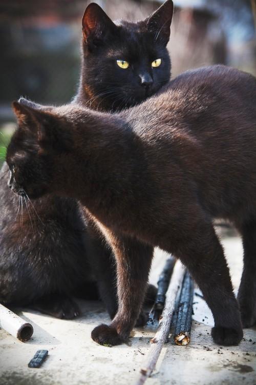 Schwarze Katze paar