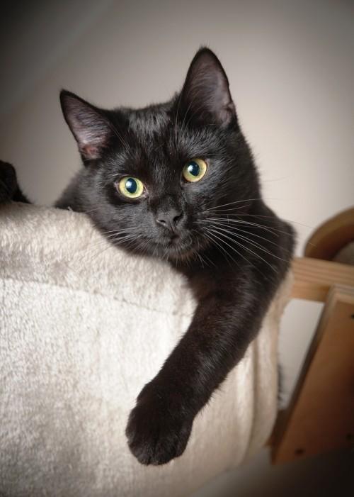 Schwarze Katze Bett