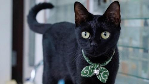 Schwarze Katze schleife