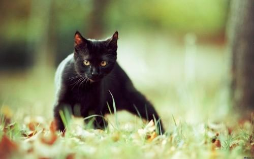 Schwarze Katze wiese