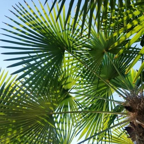 winterharte Palmen blätter