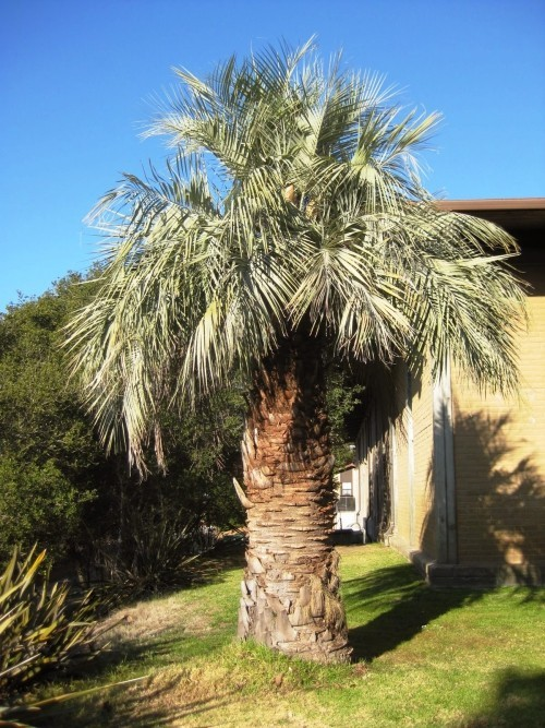 winterharte Palmen gelee palme
