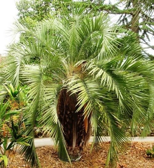 winterharte Palmen geleepalme