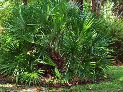 winterharte Palmen grün