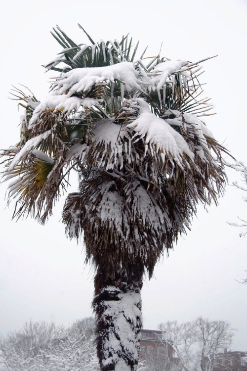winterharte Palmen groß