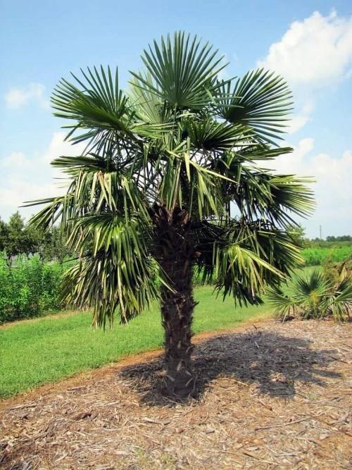 winterharte Palmen hanfpalme