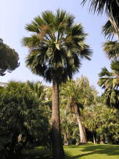 winterharte Palmen honig palme