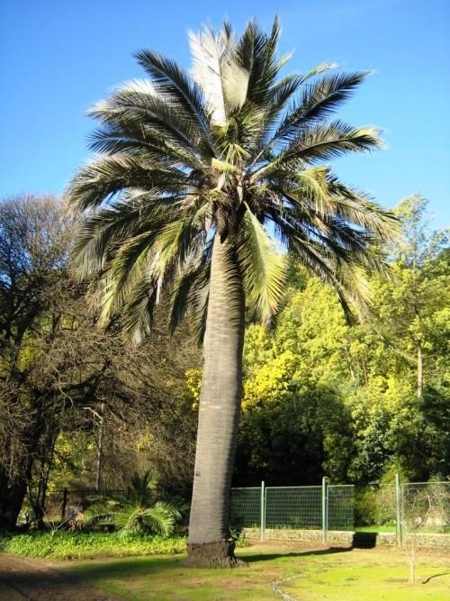 winterharte Palmen honigpalme