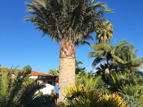 winterharte Palmen riesig