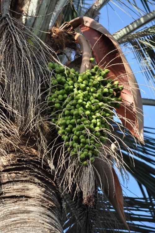 winterharte Palmen samen