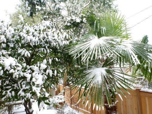 winterharte Palmen schnee