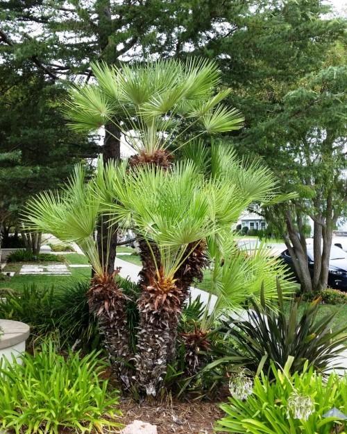 winterharte Palmen zwerg palme