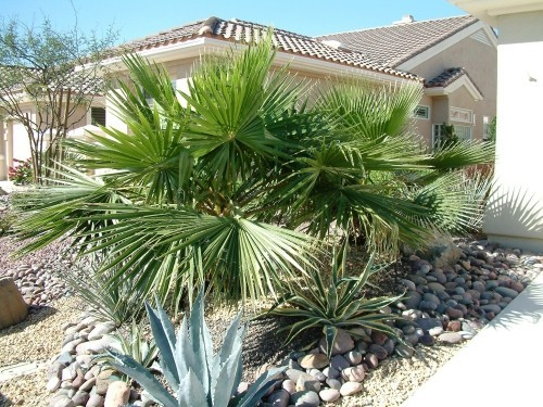 winterharte Palmen zwergpalme