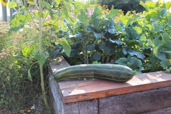 zucchini gesundes leben toll aus dem garten