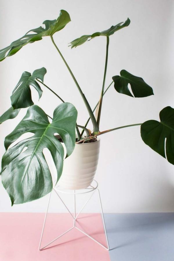 Ideen für Zimmerpflanzen-Deko Fensterblatt im weißen Blumentopf