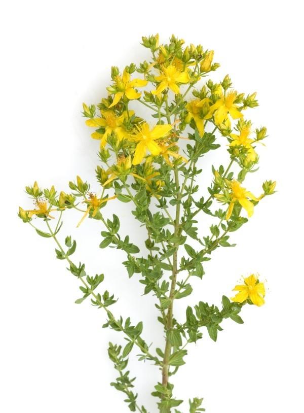 Kräuter Johanniskraut gelbe Blüten für einen entspannten und erholsamen Nachtschlaf