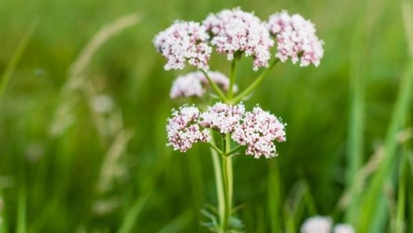 Kräuter helfen bei Schlafproblemen Baldrian Blüten