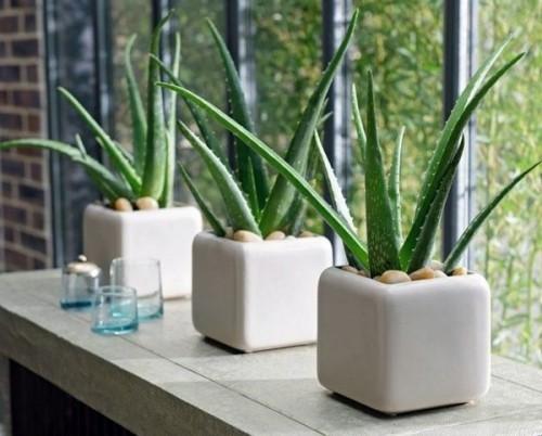 Luftreinigende Pflanzen Aloe Vera markante fleischige Blätter