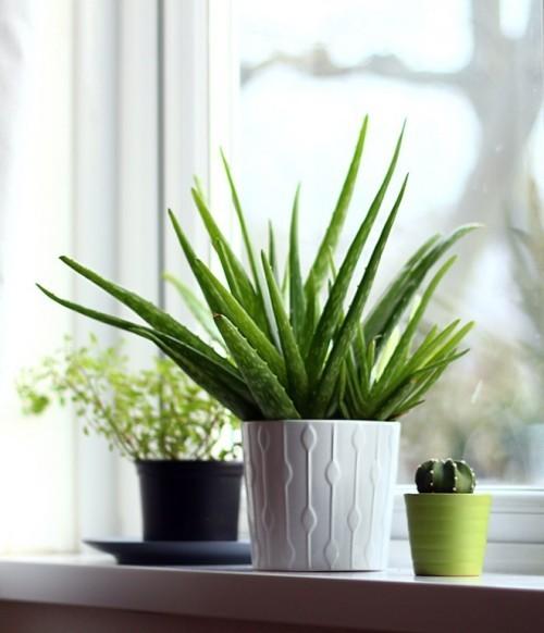 Luftreinigende Pflanzen Aloe Vera nützliche Eigenschaften für straffe strahlende Haut