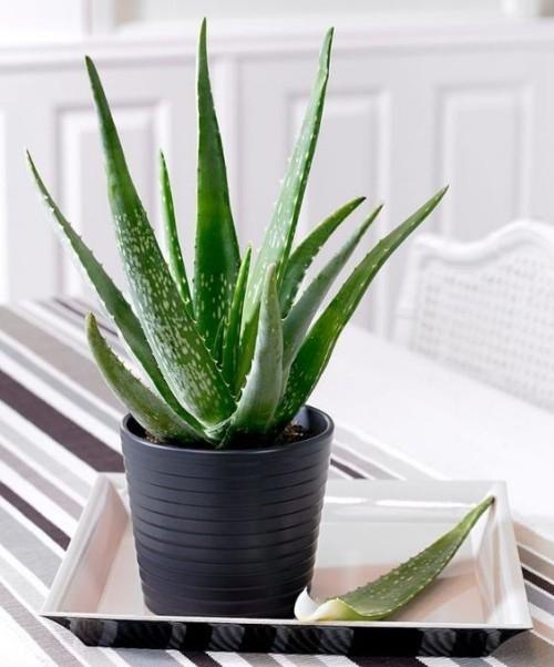 Luftreinigende Pflanzen Aloe Vera