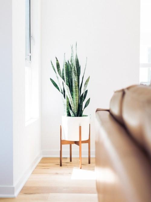 Luftreinigende Pflanzen Bogenhanf ideale Pflanze für Schlaf-und Wohnzimmer