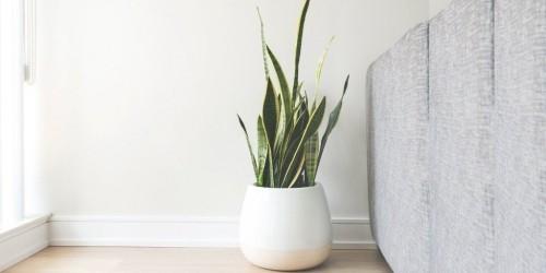 Luftreinigende Pflanzen Bogenhanf im weißen Topf attraktiver Look