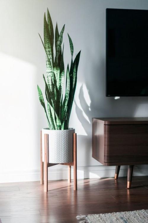 Luftreinigende Pflanzen Bogenhanf schöner Blickfang im Wohnzimmer und im Büro