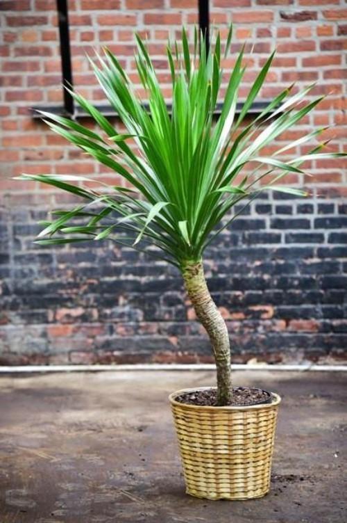 Luftreinigende Pflanzen Dracaena benötigt hellen nicht zu warmen Standort