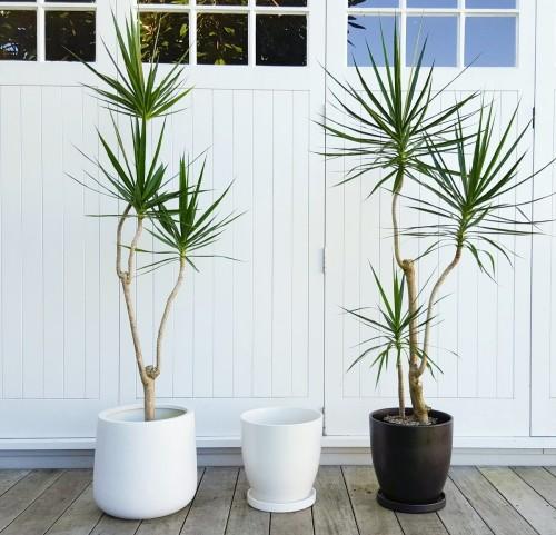 Luftreinigende Pflanzen Dracaena palmenähnliche Form exotische Präsenz im Raum