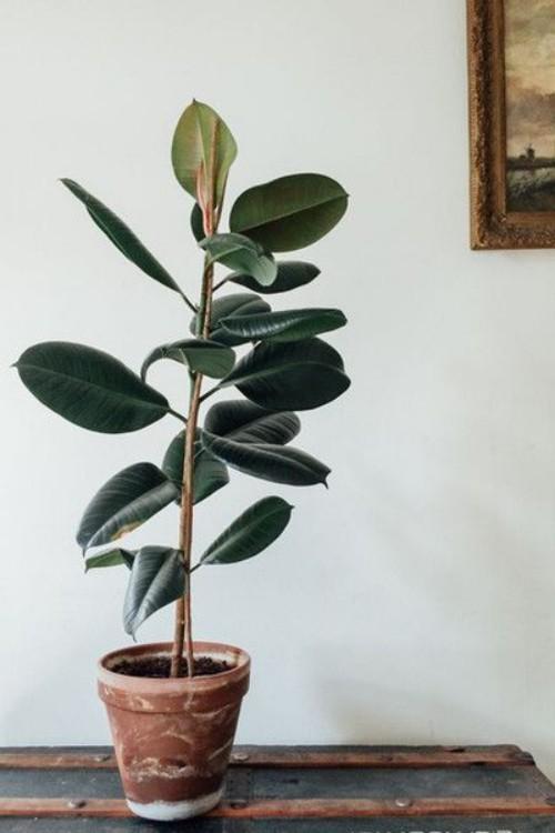 Luftreinigende Pflanzen Drachenbaum der Liebling der Deutschen seit den 50ger Jahren