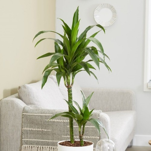 Luftreinigende Pflanzen Drachenbaum im Wohnzimmer pflegeleicht und auffallend