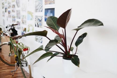 Luftreinigende Pflanzen Gummibaum eyecatching und pflegeleicht